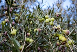 Olives growing on the grounds