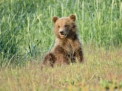 Young brown bear cub