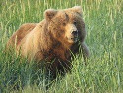 Older brown bear cub