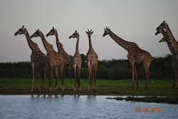 Giraffe Crossing in the Selous