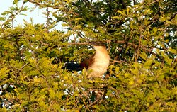 Burchalls coucal on game drive