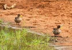 Yellow billed duck on game drive