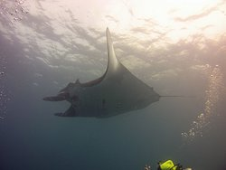 Swimming with the Manta