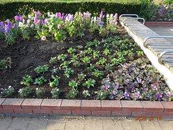 2020正月_公園事務所前花壇見ました? 今年の正月は、まさかの黒い花壇です。公共の花壇で、「ふれあいの森公園を育む会」とは、こういう色彩で、永遠に変わらないデザイン花壇を作利続けることがお好きな人が集まる公園美化ボランテイアです。新しく参加される方も、『白青黒』花壇がお好きで、古参のお手伝いをしているだけで、満足されているようです。   計画的で、自由で、明るい雰囲気の花壇がお好きな方は、参加されないことをおすすめします。 あなたの希望は、一切考慮されることはありません。