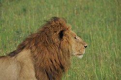 LionKing in Masai Mara
