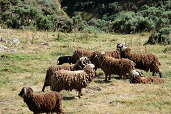 Arapawa Sheep