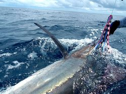 Marlin hook up with Captain Merf & Capitan Chui!! Let these pros take YOU out!!