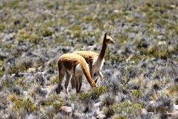 Vicuñas in the Pampa Cañahias, Arequipa