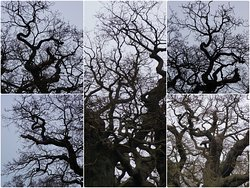 The Major Oak in Sherwood Forest, Nottinghamshire:  a tangled mass of ancient branches