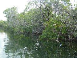 Mangroves La Parguera