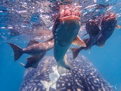 Remoras or suckerfish leave their whale shark host to feed on planktonic and necktonic animals at the surface, La Paz, Mexico.