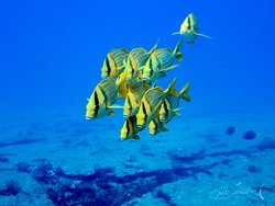 Blue and gold snappers at Cabo Pulmo National Park, Mexico.