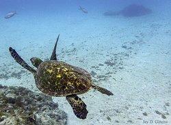 A hawksbill sea turtle in the Espiritu Santo National Park, La Paz, Mexico.