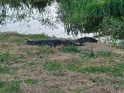 Caiman we saw during the tour