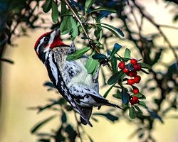 Red-naped Sapsucker eating pycantha berries October 2019