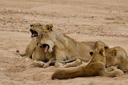 Seen on Klaserie Sands Safari