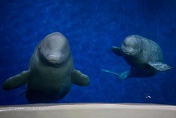 SEA LIFE Trust Beluga Whale Sanctuary