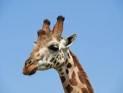 Giraffe Murchison