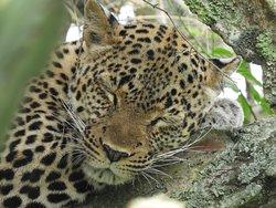 Luipaard Murchison