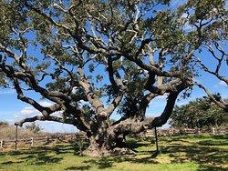 Tre Big Tree