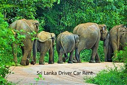 OUR VALUABLE NEW ZEALAND CLIENTS VISITED KAUDULLA NATIONAL PARK - We organized a 12 day tour itinerary for our clients. Since there were 2 kids we arranged many activities. The village tour was very interesting and Kaudulla national park safari also was very exciting event. Look at this picture. Elephants are walking along the road. They blocked the road and we had to follow them around 1 hour. ABOUT KAUDULLA NATIONAL PARK - Kaudulla National Park..... Sri Lanka Driver Car Rent Colombo