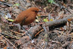 The Rufous Antpitta ... occurs throughout the east slope of the Andes and also on the west slope south to Cajamarca. Sub-species cajamarcae . Join us in 2020 for successful .... Where Is Your Next Experience ... !! Enquire now at. . http://www.birdsofperutours.com