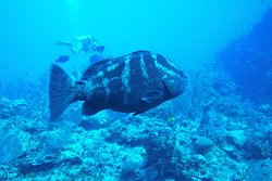 Photo doesn't do justice to this whopper of a grouper.