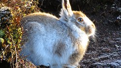 Mountain Hare in the Peak District. Book one of our private Mountain Hare Photography days at www.myguidedwalks.co.uk/Peak-District-Experiences/mountain-hares-photography-walk