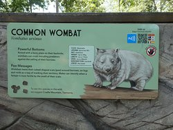 about the Common Wombat