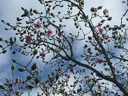 Beautiful magnolias starting to burst into bloom during the first week of February - spring comes early in West Cornwall!
