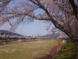 桜と鯉のぼりが美しい風景