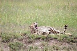 cheetah in serengeti national park
