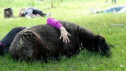 Sheep yoga is really relaxing! Lammasjooga on todella rentouttavaa!
