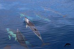 common dolphin. OceanExplorer