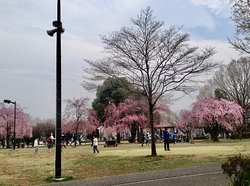 Different Types of Cherry Trees in April