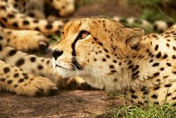 Up close and personal with Africa's big cats. You get so close to these glorious animals that you can feel their extraordinary power. #sunupadventures #Africa #safari #holidays #africasafari #bigcats #bigfive #lionking #cheetah #lions #masaimara Email info@sunupadventures.com Web www.sunupadventures.com