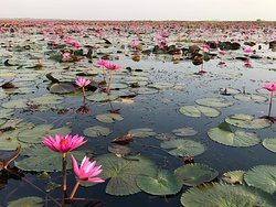 Red Lotus on the Lake