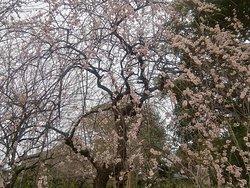 ①梅の花(Ume no hana)♪ Flor de ciruelo ♪ Plum blossom ♪
