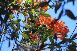 Orange Cape Honeysuckle