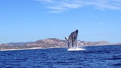 Ballena Jorobada / Humpback Whale