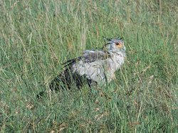 Secretary bird Serengeti
