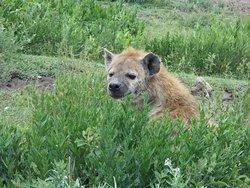Ngorongoro hyena