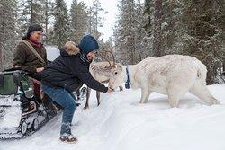 Meet and feed the reindeer ath their natural habitat. (photo: Kari Vengasaho)