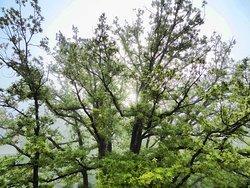 Kaisereiche - The Tree