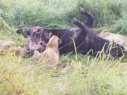 להקת האריות טורפים את הבופאלו שצדו