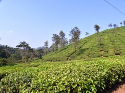 A view of the tea garden around the place