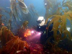 Diver in La Jolla Kelp bed
