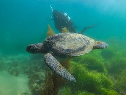 Diver and Green Turtle at Marine Room