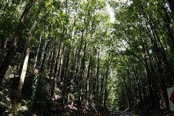 Лес из красного дерева