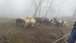 le troupeau d'alpagas